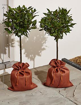 Pair of Garden Bay Trees