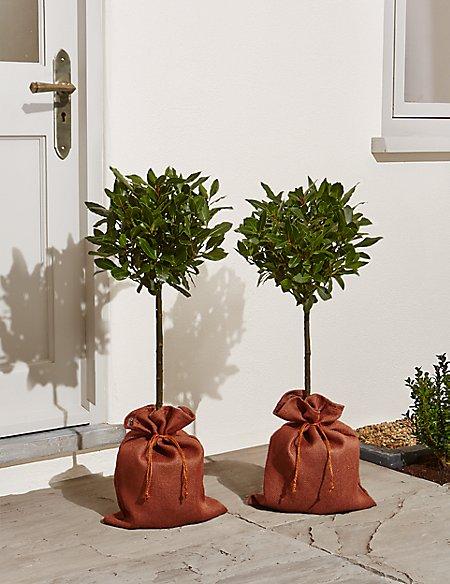 Pair of Bay Trees