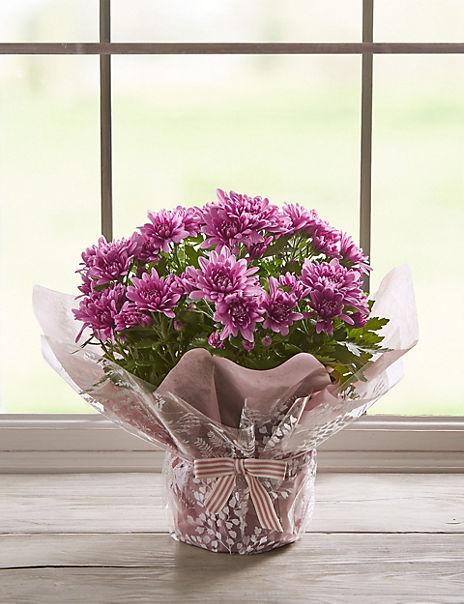 Gift Wrapped Chrysanthemum