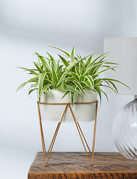Spider Plant on Stand