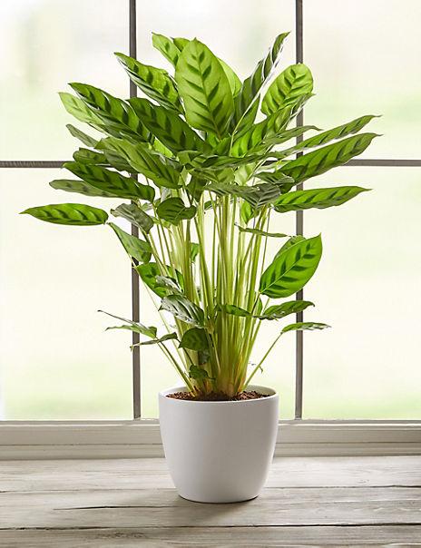 Green Calathea Plant