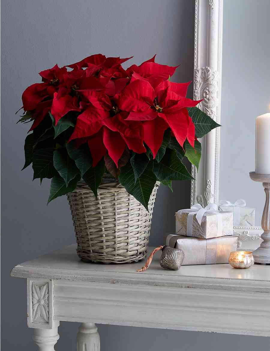 Large Christmas Gift Wred Poinsettia