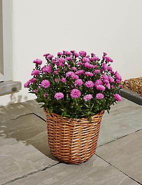 Garden Aster Basket