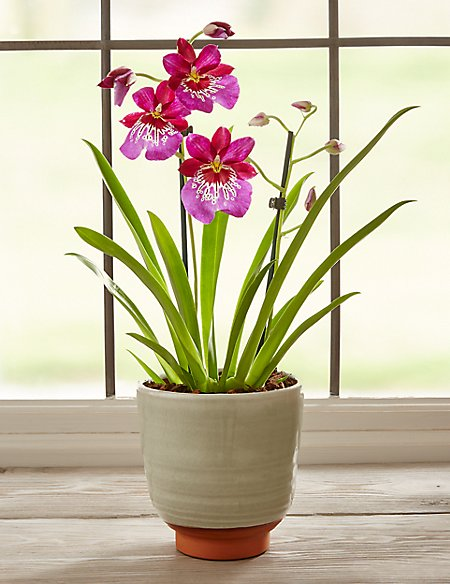 Miltonia Orchid House Plant (Available for delivery from 29th Aug 2018)