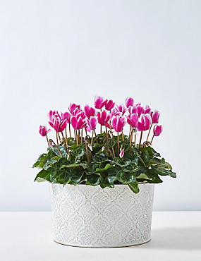 Pink Cyclamen Bowl House Plant