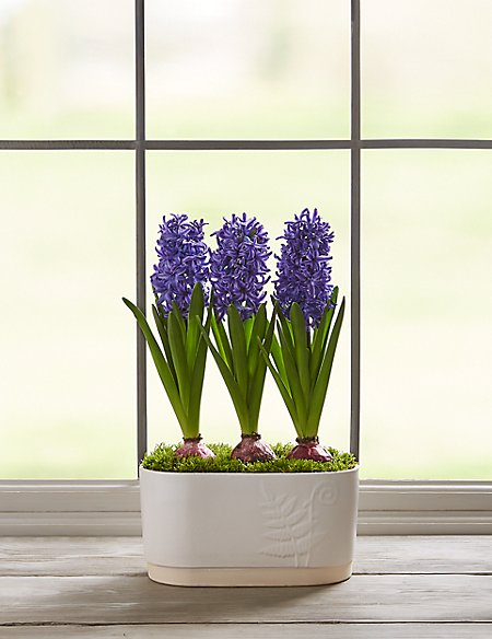 Hyacinth Trough