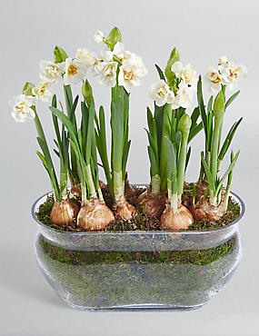 Narcissi Glass Trough