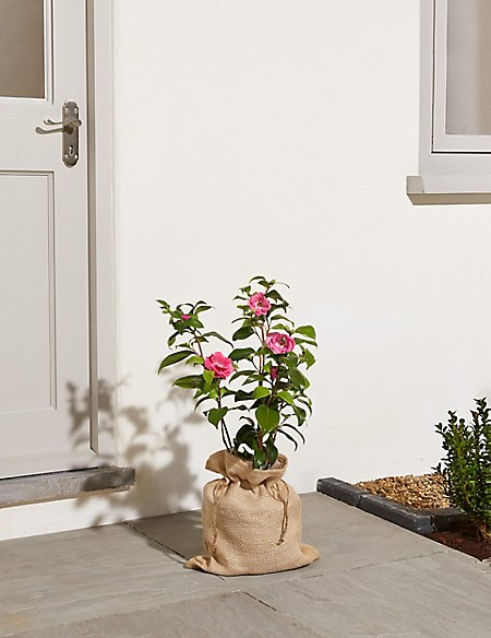 Camellia Bush (Available until 5th May)