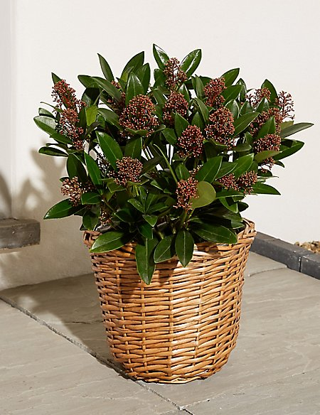 Skimmia Basket Planter (Available for delivery from 16th Oct 2018)