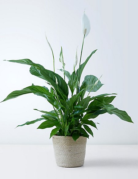Billedresultat for peace lily