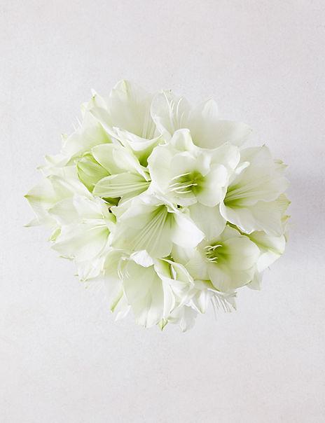 The Collection White Amaryllis