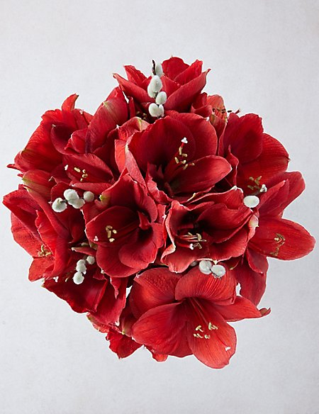 The Collection Red Amaryllis