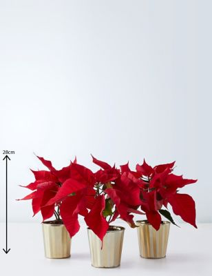 Red Poinsettia Trio by Marks & Spencer