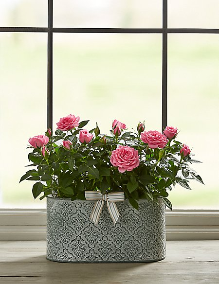 Autumn Pink Rose Trough