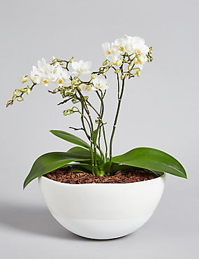 Multifloral Orchid House Plant