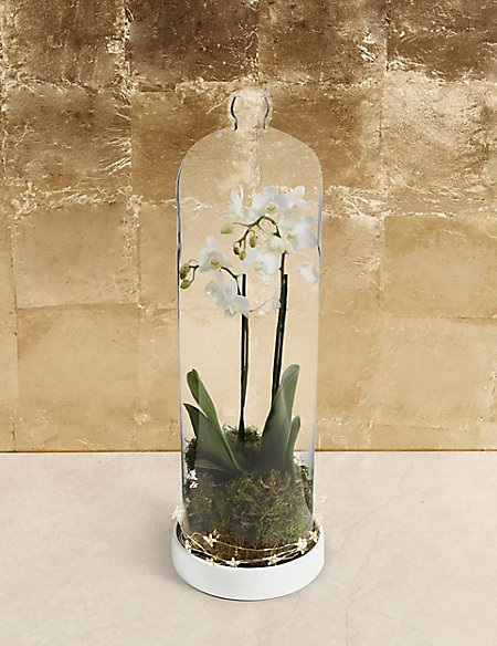 Christmas White Orchid Cloche