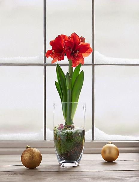 Red Amaryllis Glass Planter