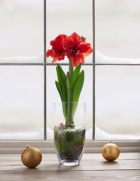 Christmas Red Amaryllis Bark Pot