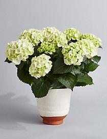 Indoor Hydrangea Planter