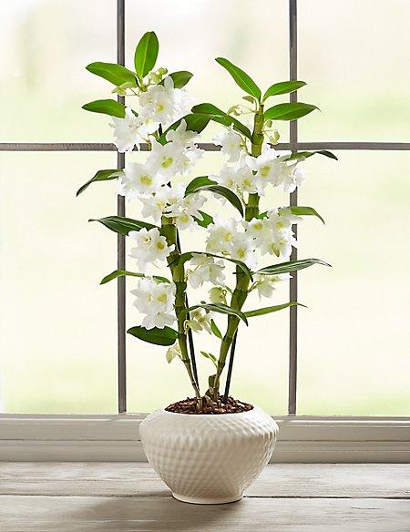 Dendrobium Orchid Ceramic