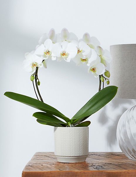 The Collection Phalaenopsis Orchid Hoop