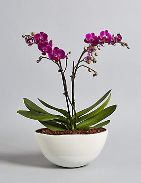 Miniature Purple Orchid