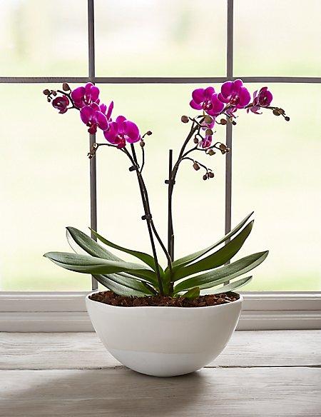 Miniature Purple Orchid