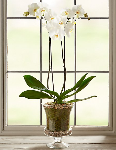 The Collection Grandiflora Orchid