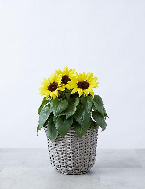 Summer Sunflower Patio Basket