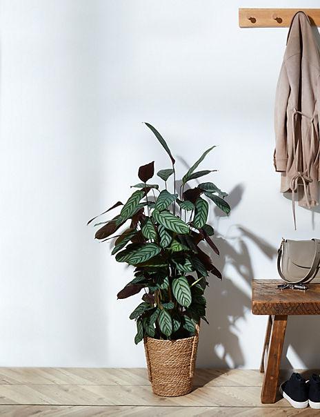 Calathea Planter
