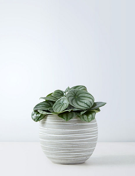 Peperomia on Stand