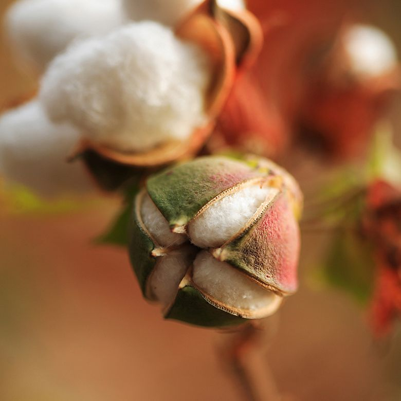 Cotton on stem