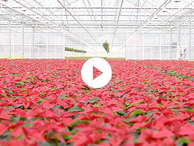 Meet The Christmas Flower Growers
